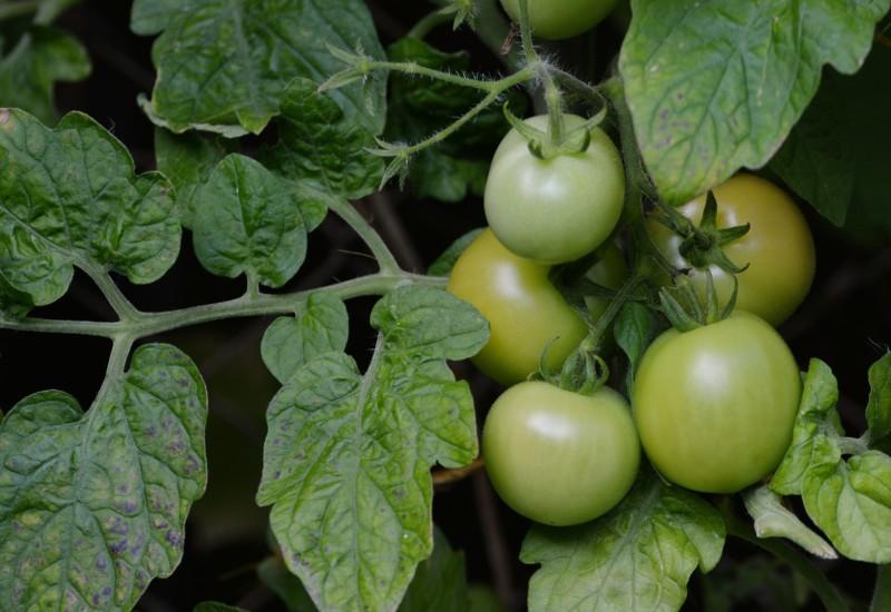 Рассол для зеленых помидоров на зиму