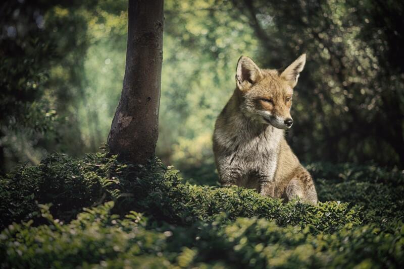 Сказка про лису-обманщицу