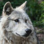 Сказка про робкого волка и его друга храброго зайца