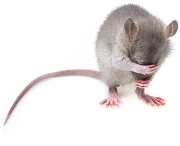 Крыса крючком