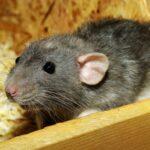 Сказка про Крысу и Поросенка