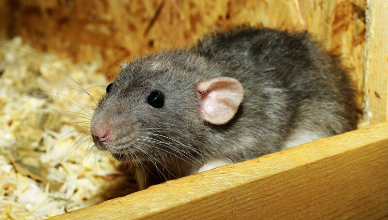 Сказка про крысу
